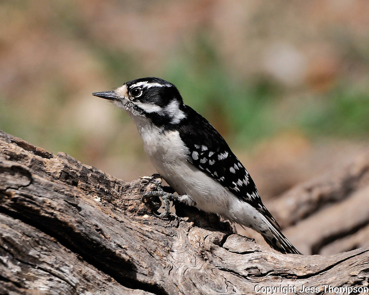 Downy Woodpecker image from South Llano River State Park, Junction, TX