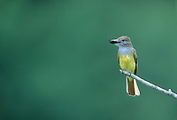 Great Crested Flycatcher, with an insect in it's bill, Cumberland County, New Jersey