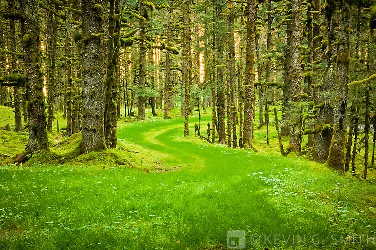 Overgrown old road through spruce trees and moss, coastal forest, Kodiak Island, Alaska USA.