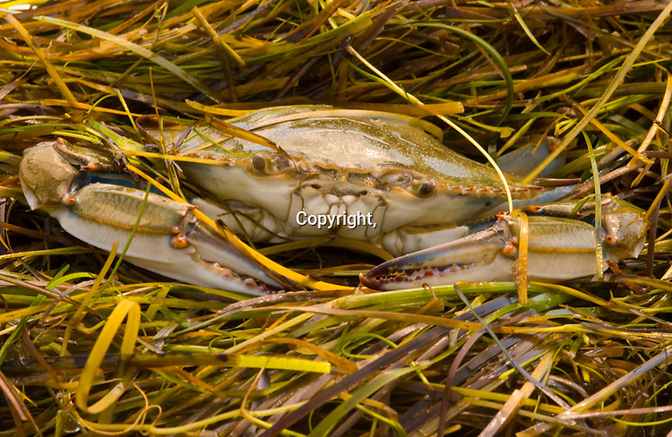 A soft crab nestles in grasses in a scrape on Smith Island