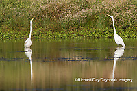 00688-02519 Great Egrets (Ardea alba) in wetland, Marion Co., IL