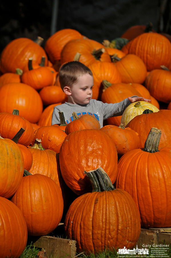 A 3-year-old searches for the best pumpkins among the hundreds displayed for sale in the front yard of the Masonic Temple in Westerville, OH. The pumpkins are a fund raiser for Boy Scout Troop 560.
