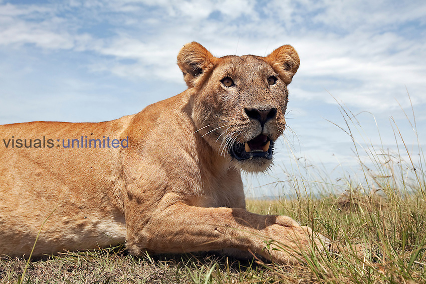 African Lion lioness resting (Panthera leo), Masai Mara, Kenya.