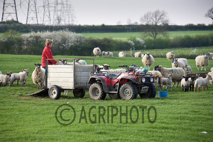 8.4.2011 Shepherdess feeding sheep with the a quad bike.©Tim Scrivener 07850 303986