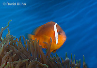 0322-1105  Tomato Clownfish, Amphiprion frenatus, with Bubble-tip Anemone, Entacmaea quadricolor  © David Kuhn/Dwight Kuhn Photography