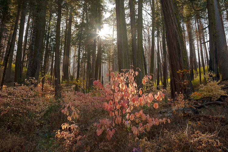 Dogwood trees in their autumn colors are backlit by the sun rays filtering through the surrounding forest.