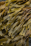 Seaweed on the shore of Seward, Alaska
