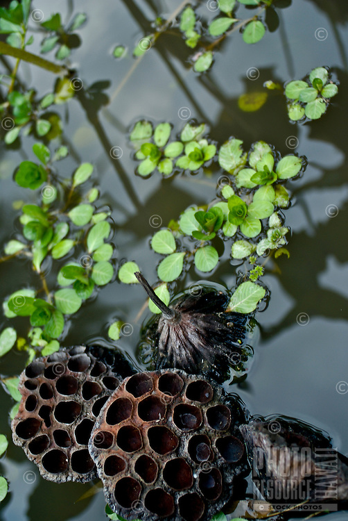 Lotus pond with pods floating