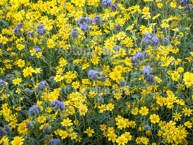 Colorful wildflowers, phacelia and Bigelow's tackled, Temblor Range, Carrizo Plain National Monument, San Luis Obispo County, Calif.