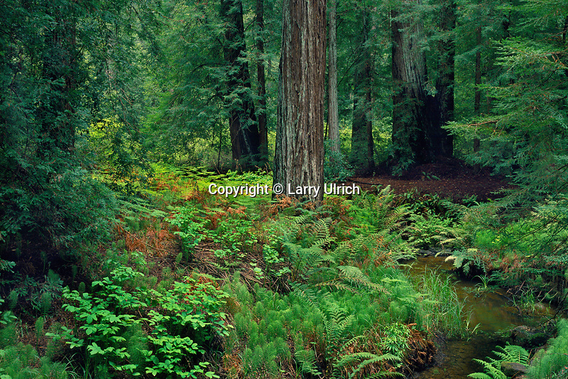 Opal Creek forest<br /> Skyline to-the-Sea Trail<br /> Big Basin Redwoods State Park<br /> California