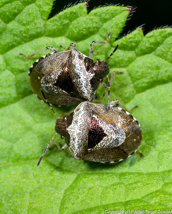 Close-up of a pair of Bronze shieldbugs (Eysarcoris fabricii) resting on a leaf in a Norfolk wood in early summer
