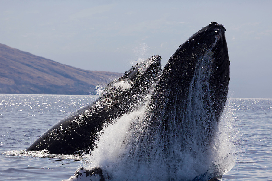 Breaching humpback whale, Megaptera novaeangliae, with West Maui in the background, Hawaii.