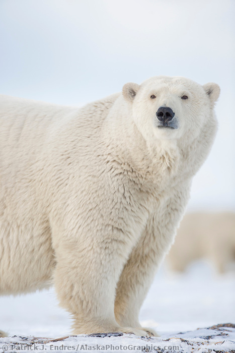 Polar bear  on a barrier island in the Beaufort Sea, Arctic National Wildlife Refuge, Alaska.