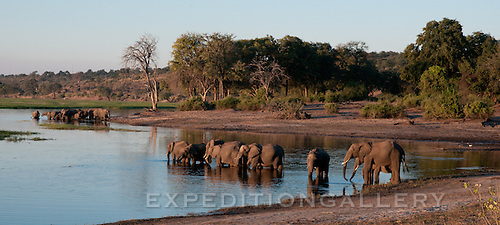Elephant families drinking at the Chobe River, Botswana.