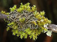 Rockmoss Rosette Lichen (Massalongia carnosa). Windy Hill Open Space Preserve. Portola Valley, San Mateo Co., Calif.