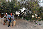 T-085 Jujube tree in Kifl Hares