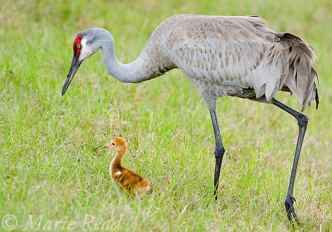 Sandhill Crane (Grus canadensis), Florida race, adult with chick, Orlando, Florida, USA