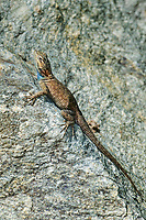 442710002 a wild desert spiny lizard sceloporous magister perches on a rock outcrop along wet canyon in graham county arizona