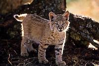 Bobcat (Lynx rufus) kitten.  Western U.S., fall.