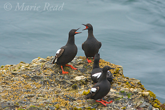 Pigeon Guillemots (Cepphus columba), group during vocal interaction on a rock, Santa Cruz, California, USA