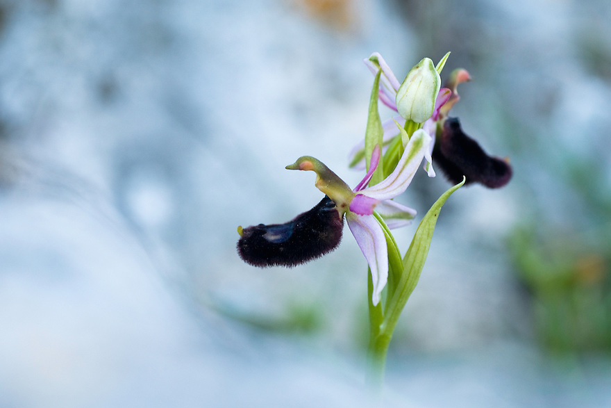 Orchid, Apulia; Gargano National Park; Gargano Peninsula; Italy; Monte Sacro; Ophrys