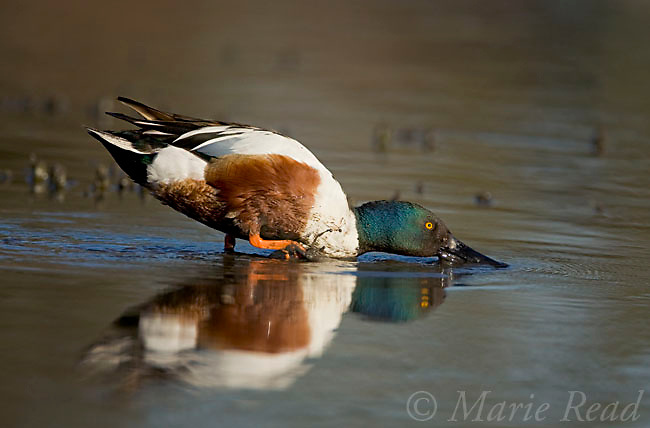 Northern Shoveler (Anas clypeata) male feeding, using his bill as a sieve, Orange County, California