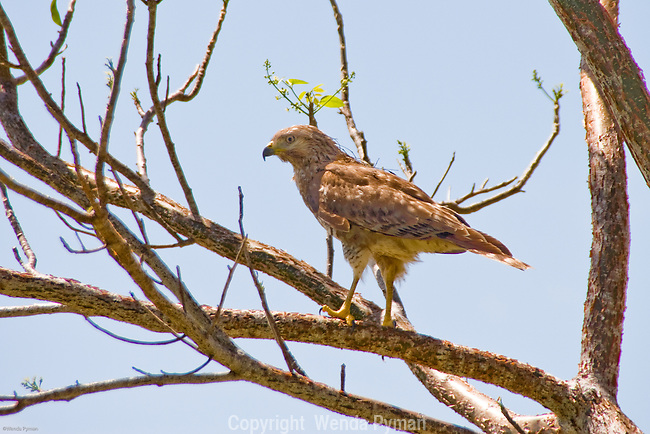 The snail kite is an endangered and uncommon local species in the Everglades.