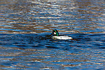 Drake common goldeneye swimming in the Chippewa River in northern Wisconsin.