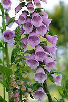 Digitalis purpurea 'Excelsior'