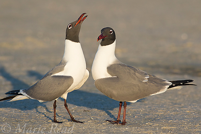 Laughing Gulls (Larus atricilla), pair in breeding plumage, courtship behavior, one begging from its mate, Fort De Soto Park, Florida, USA