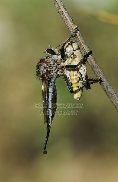 Robber Fly, Asilidae, adult with grasshopper as prey, Starr County, Rio Grande Valley, Texas, USA, May 2002