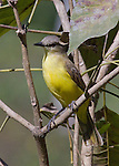 A Tropical Kingbird, a large tyrant flycatcher, sitting on a branch displaying his bright yellow chest in the Pantanal area of Brazil. His beak is shadowed on his chest offering an interesting detail to the photograph.