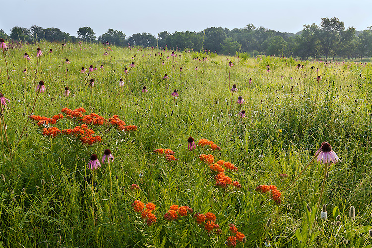 Butterfly Weed and Coneflowers in bloom on the Schulenberg Prairie; The Morton Arboretum, IL