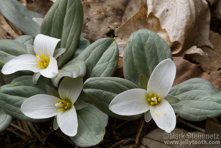 Snow Trillium (Trillium nivale), or Dwarf White Trillium, in bloom in early April, Delaware County, Ohio, USA. An early blooming spring ephemeral woodland wildflower native to eastern North America, this small and beautiful trillium is rare across it's range, and state endangered in many states in which it occurs.
