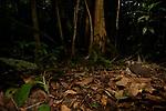 Great Tinamou (Tinamus major) in tropical rainforest, Mamoni Valley, Panama