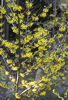 Witch hazel Arnold Promise, Hamamelis x intermedia in early spring / late winter tree in flower