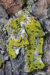 Yellow Soot Lichen (Cyphelium lucidum), North Shore, Lake Superior, Ontario, Canada