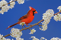 Northern Cardinal (Cardinalis cardinalis), adult male on blooming Mexican Plum (Prunus mexicana), New Braunfels, San Antonio, Hill Country, Central Texas, USA