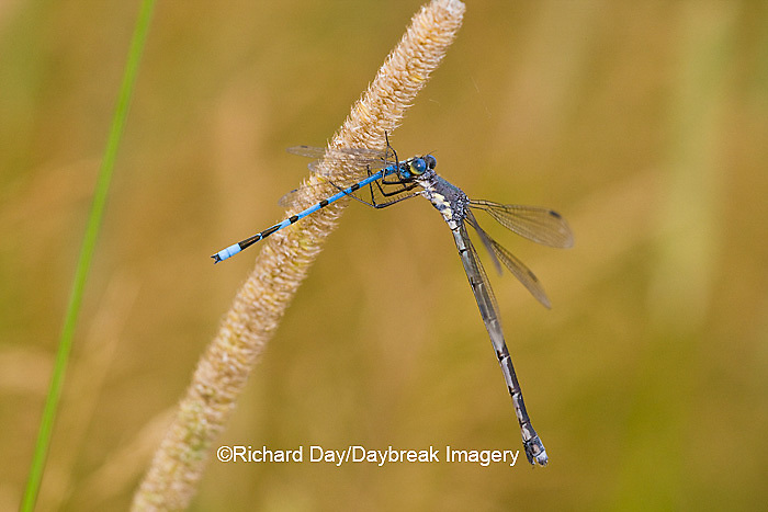 06033-00108 Sweetflag Spreadwing (Lestes forcipatus) damselfly male eating a Familiar Bluet (Enallagma civile) damselfly near wetland, Marion Co. IL