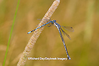 06033-00108 Sweetflag Spreadwing (Lestes forcipatus) damselfly male eating a Familiar Bluet (Enallagma civile) damselfly near wetland, Marion Co. IL