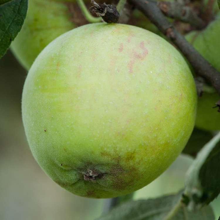 Apple 'Beauty of Bedford', mid September. An English dessert apple from Laxton Bros Nursery, Bedford. Dates from the early 20th century.