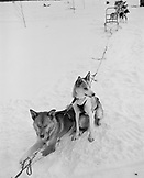 FINLAND, Rovaniemi, huskies resting on snow with sledge
