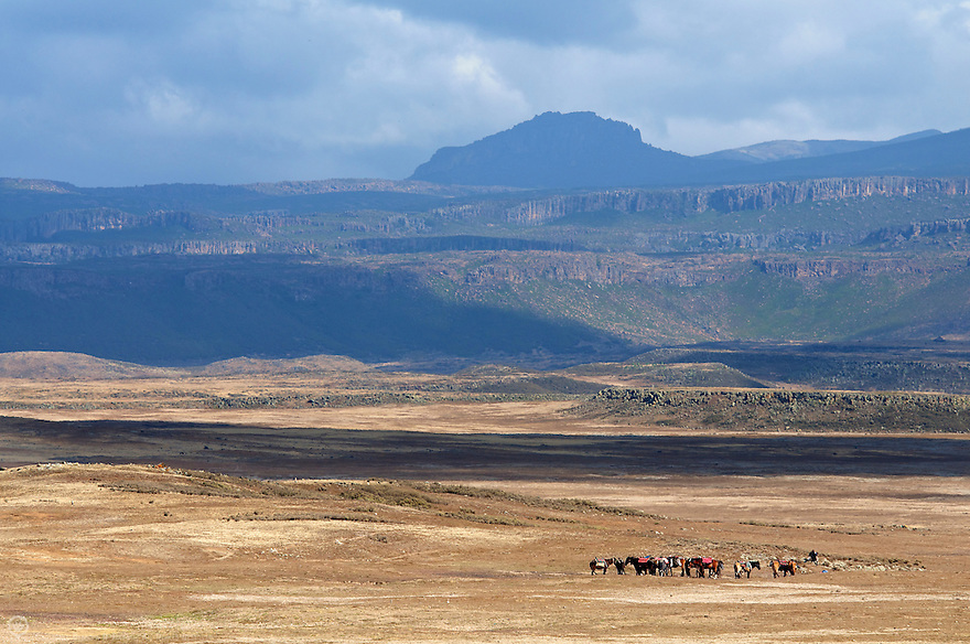 A herd of horses in the Web Valley, Bale Mountains National Park, Ethiopia, Africa.