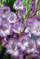 Gladioli sprays 'Hidden Treasure' lavender blue with white