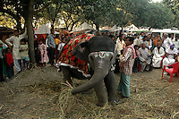 A baby elephant is displayed for sale at Sonepur fair ground. Bihar, India, Arindam Mukherjee