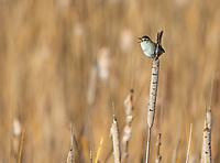 Marsh wrens are tiny, but passionate about announcing their presence.