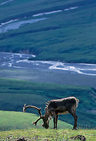 Bull caribou in summer velvet, Denali National Park Alaska