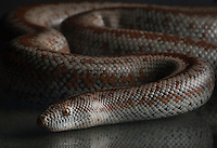 Rosy Boa, Lichanura Trivirgata<br />