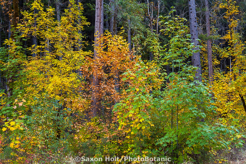 Mixed Conifer Forest with tapestry of understory deciduous trees in autumn; Fraxinus latifolia, Oregon ash and Acer macrophyllum (Bigleaf Maple); Castle Crags State Park, Shasta-Trinity National Forest, California
