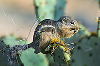 Harris's antelope squirrel (Ammospermophilus harrisii) on prickly pear, Sonoran Desert, Arizona.